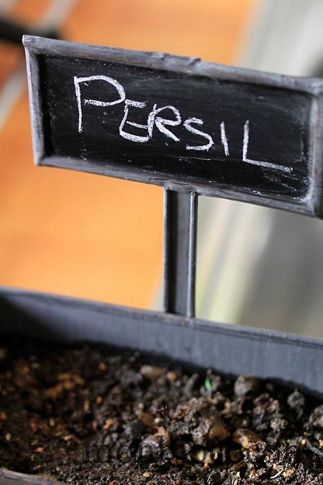 plantation-de-persil-frisé