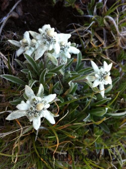 edelweiss-randonnée-alpes-lac-noir