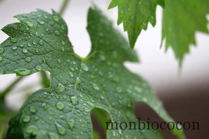 figue de vigne caudalie eau fraiche-8