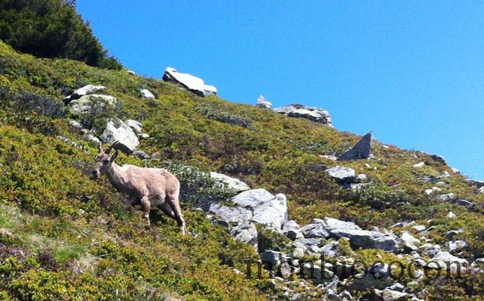bouquetin-randonnée-alpes