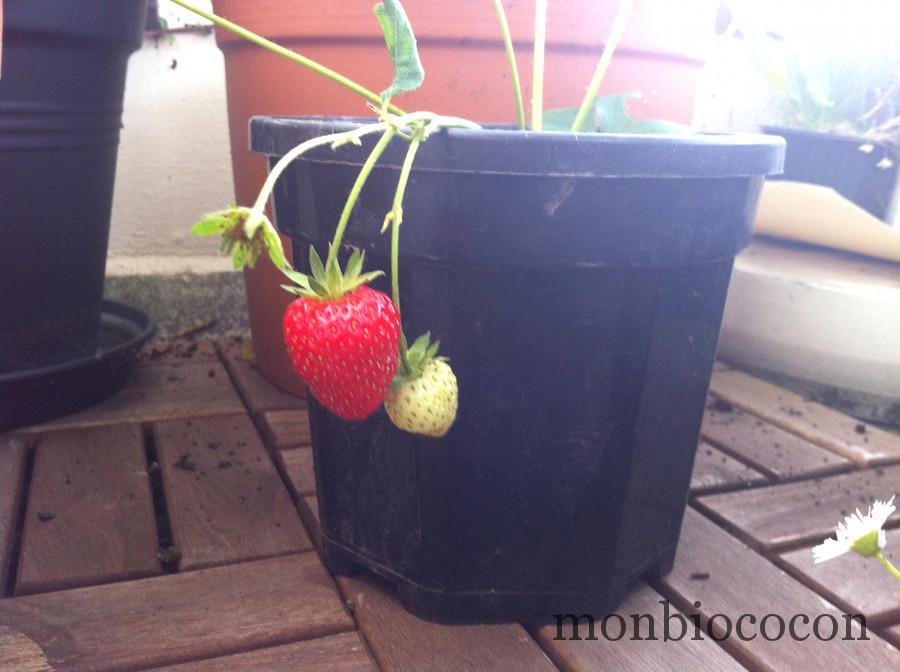 fraise-sur-balcon-bordeaux