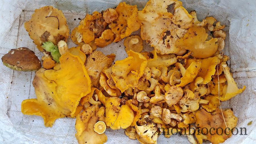 cepes-girolles-foret