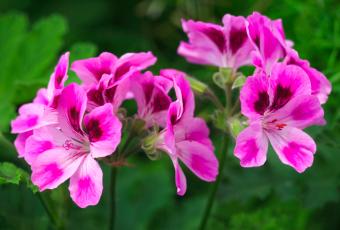 Ces plantes magiques qui repoussent les moustiques
