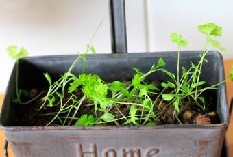 Je jardine dans ma cuisine: le persil plat.  Et ça pousse encore et encore…