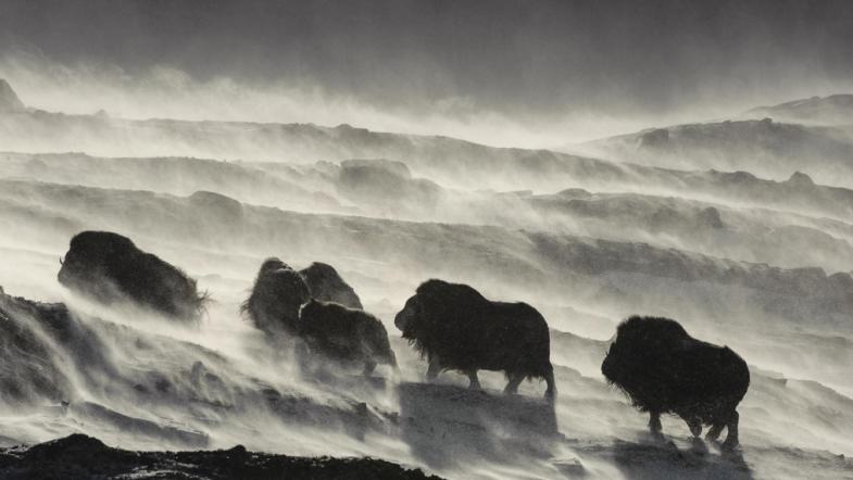Vincent Munier & son magnifique film «Grandeurs Nature»